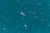 Inédito podcast de ficção ambiental conta a história da toninha, o golfinho mais ameaçado do país