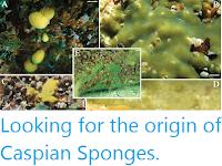 https://sciencythoughts.blogspot.com/2020/05/looking-for-origin-of-caspian-sponges.html