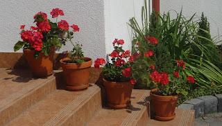 pelargonie do ogródka