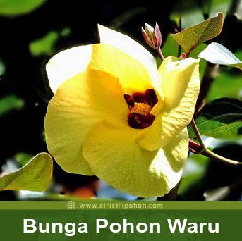 ciri ciri pohon bunga waru