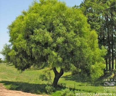 Laurel de río (Nectandra angustifolia)