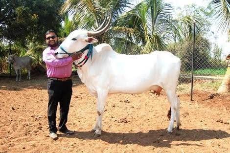 Dangi Cow
