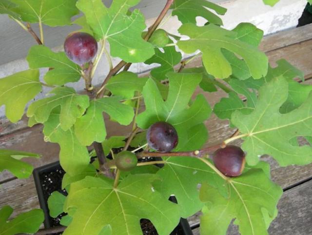инжир растение