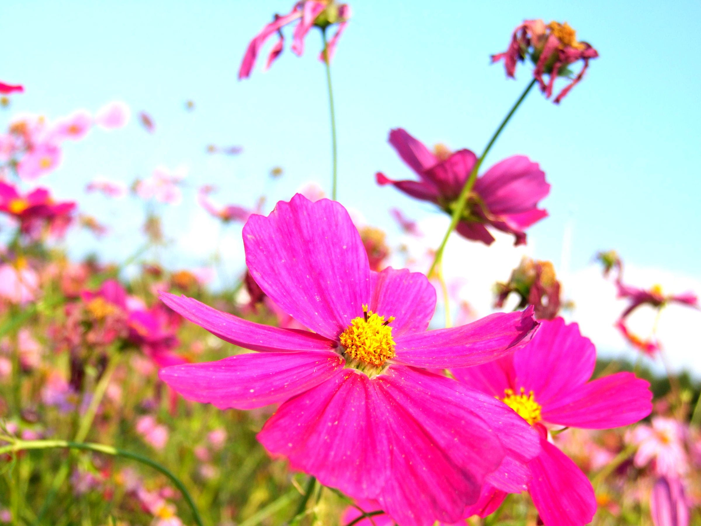 秋桜,コスモス,秋,花,風景,写真素材,autumn cherry blossoms, cosmos, autumn, flower, landscape, photograph