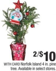 Norfolk Island 4in pine tree