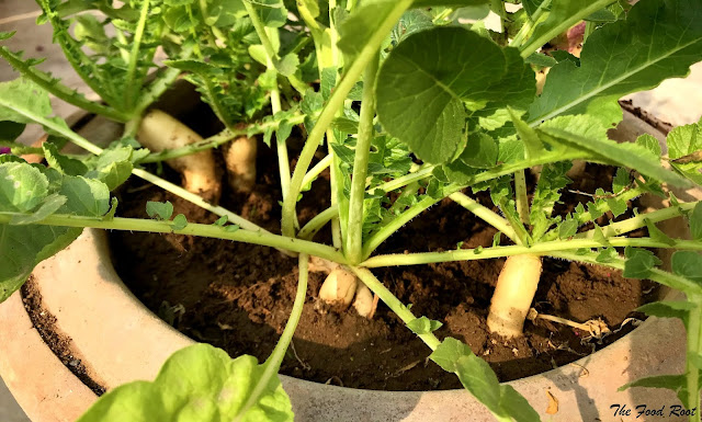 Radishes are best sown from the seeds. It takes around 7-10 days in germination. They start growing about 6-7 weeks after planting.