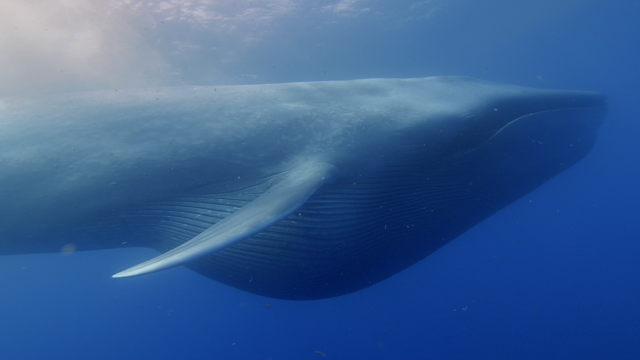 Whales only recently evolved into giants when changing ice, oceans concentrated prey