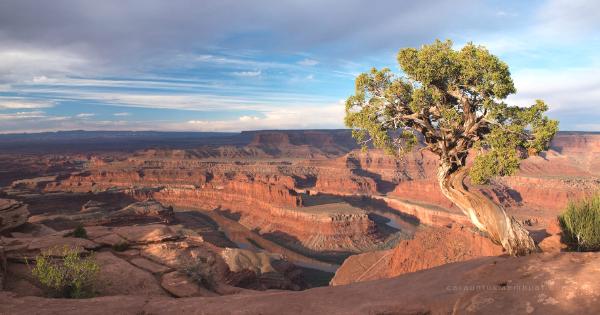 Juniper Tree at Canyonlands