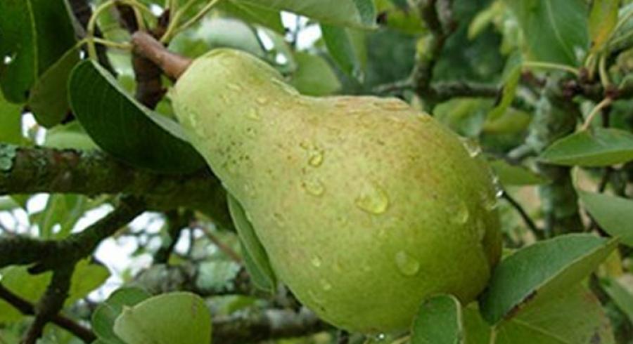 Προς πληρωμή ενισχύσεις de minimis για αχλάδια, σπαράγγια και αιγοπροβατοτροφία