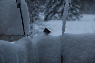 Junco in April snow