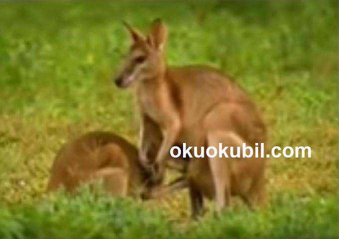 Rüyada Kanguru Görmek Ne Manadadır?