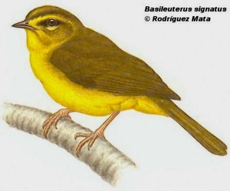 Arañero cejas amarillas, Myiothlypis signata