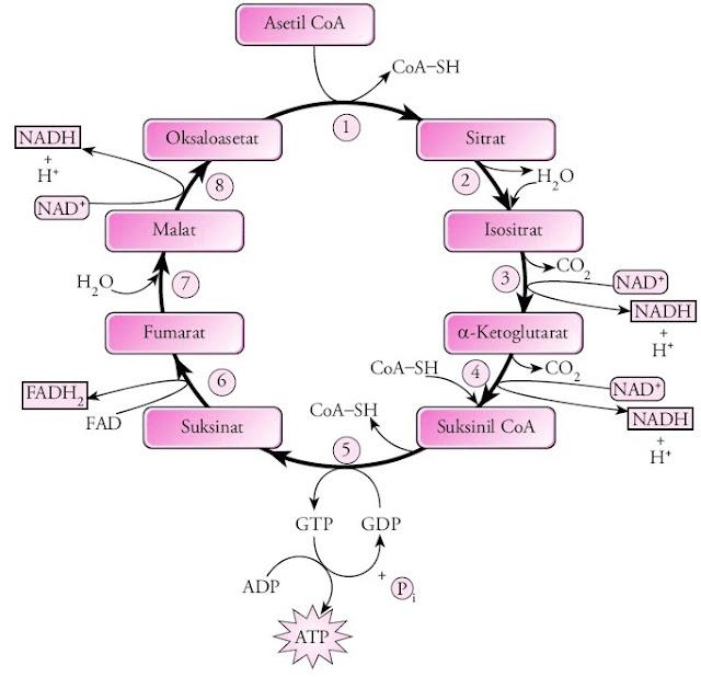 perbedaan glikolisis siklus krebs dan transpor elektron dalam bentuk tabel, enzim yang berperan dalam glikolisis siklus krebs dan transpor elektron, glikolisis dekarboksilasi oksidatif siklus krebs dan transpor elektron, hasil dari glikolisis siklus krebs dan transpor elektron, perbedaan glikolisis dekarboksilasi oksidatif siklus krebs dan transpor elektron, hubungan glikolisis dekarboksilasi oksidatif siklus krebs dan transpor elektron, proses glikolisis dekarboksilasi oksidatif siklus krebs dan transpor elektron, hasil akhir dari glikolisis siklus krebs dan transpor elektron, keterkaitan glikolisis dekarboksilasi oksidatif siklus krebs dan transpor elektron, keterkaitan proses glikolisis dekarboksilasi oksidatif siklus krebs dan transpor elektron, tabel perbedaan glikolisis dekarboksilasi oksidatif siklus krebs dan transpor elektron, jumlah energi yang dihasilkan glikolisis siklus krebs dan transpor elektron, glikolisis siklus krebs dan transpor elektron, jelaskan proses glikolisis siklus krebs dan transpor elektron, penjelasan hubungan glikolisis siklus krebs dan transpor elektron, makalah glikolisis siklus krebs dan transpor elektron, pengertian siklus krebs dan transpor elektron, tabel perbedaan proses glikolisis siklus krebs dan transpor elektron, perbedaan glikolisis siklus krebs dan rantai transpor elektron, skema hubungan antara glikolisis siklus krebs dan transpor elektron, tabel perbedaan glikolisis siklus krebs dan transpor elektron, perbedaan siklus krebs dan glikolisis, hasil siklus krebs dan glikolisis, siklus krebs glikolisis, gambar siklus kreb dan glikolisis, hasil akhir siklus krebs dan glikolisis, hubungan antara glikolisis siklus krebs dan sistem transpor elektron, artikel glikolisis dan siklus krebs, peranan glikolisis dan siklus krebs pada biosintesis, bagan glikolisis dan siklus krebs, hasil dari siklus krebs dan glikolisis, peranan glikolisis dan siklus krebs dalam biosintesis, apa peranan glikolisis dan siklus krebs dalam biosintesis, gamba
