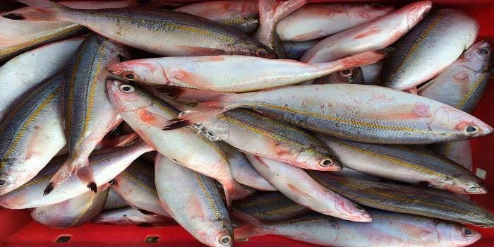 cá đỏ để làm chả cá lý sơn