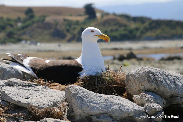 Southern Black Backed Gull