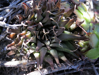 Haworthia venteri - Buffelsdrif West of Ladismith
