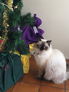 Princess, rag doll kitten, looking at camera, in front of the Christmas tree