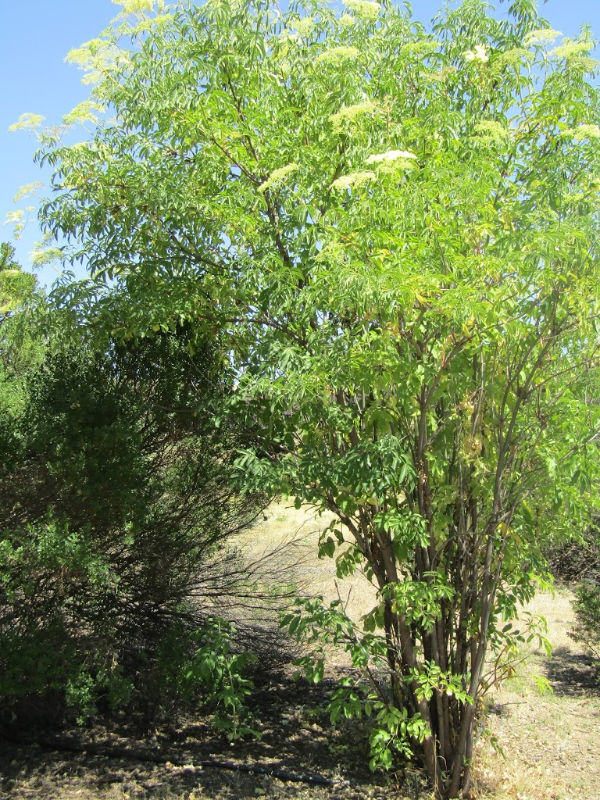 """""""Larry"""" Moore Park in Paso Robles: A Photographic Review - Elderberry tree in Bloom"""