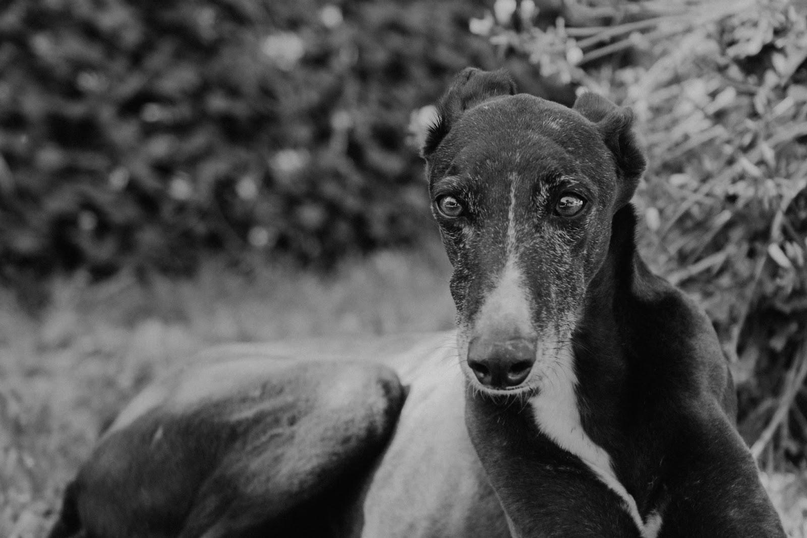 Huesito, un galgo super dulce - Fotografia de mascota