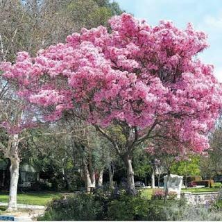 bibit-tabebuya-pink.jpg