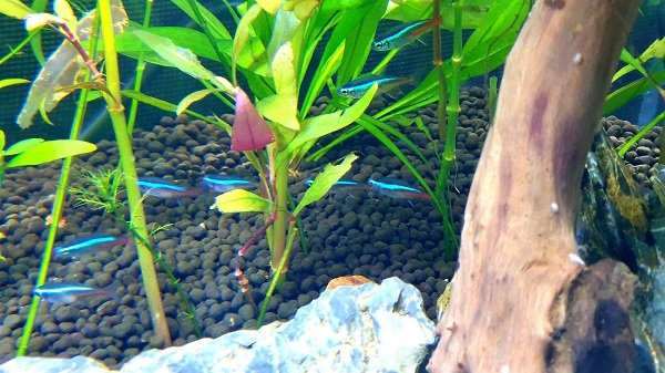 Neon Tetra in Fish Bowl Aquarium