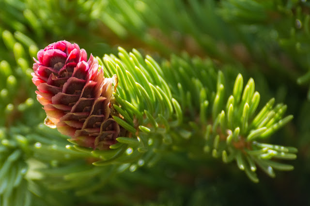 Baby Fir Cone, Mount Elbert