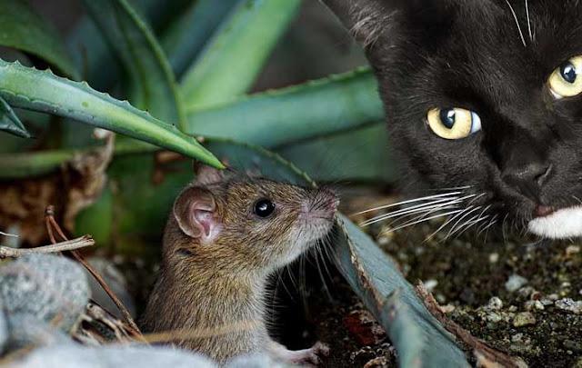 kucing tikus
