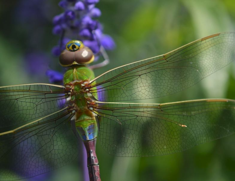 Awesome example of a dragonfly