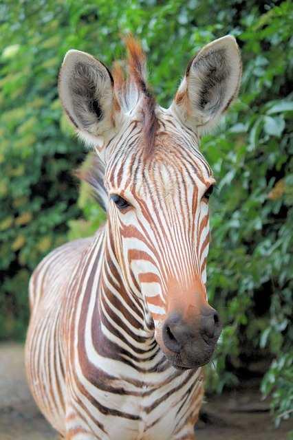 golden zebra fact in hindi