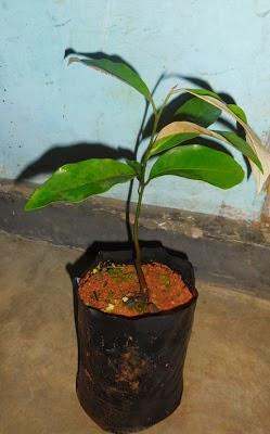 budidaya tanaman pala | jual bibit ;pala unggul