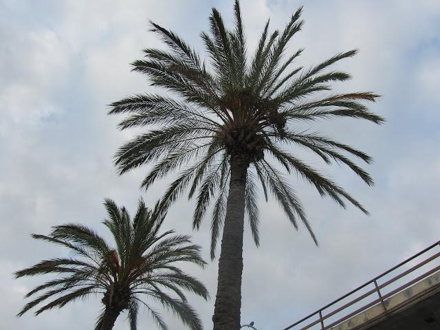 Palme da Dattero in Liguria