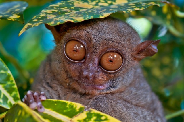 report the tarsier The philippines tarsier as near threatened due to population decline over the last 20 years, habitat loss, and harvesting for the pet trade  new skift report: balancing purpose and profit .