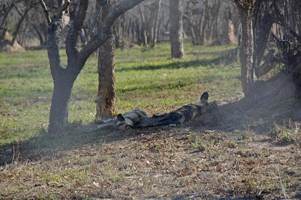 zwei Wildhunde schlafen im Schatten