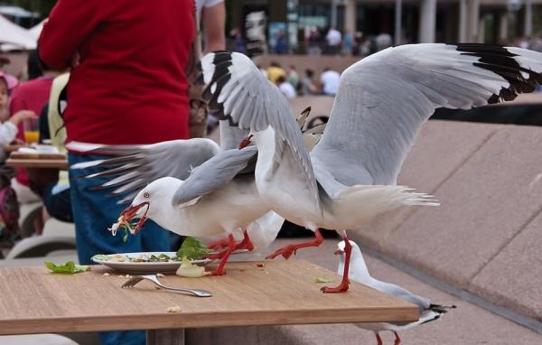 Sydney - Seagulls