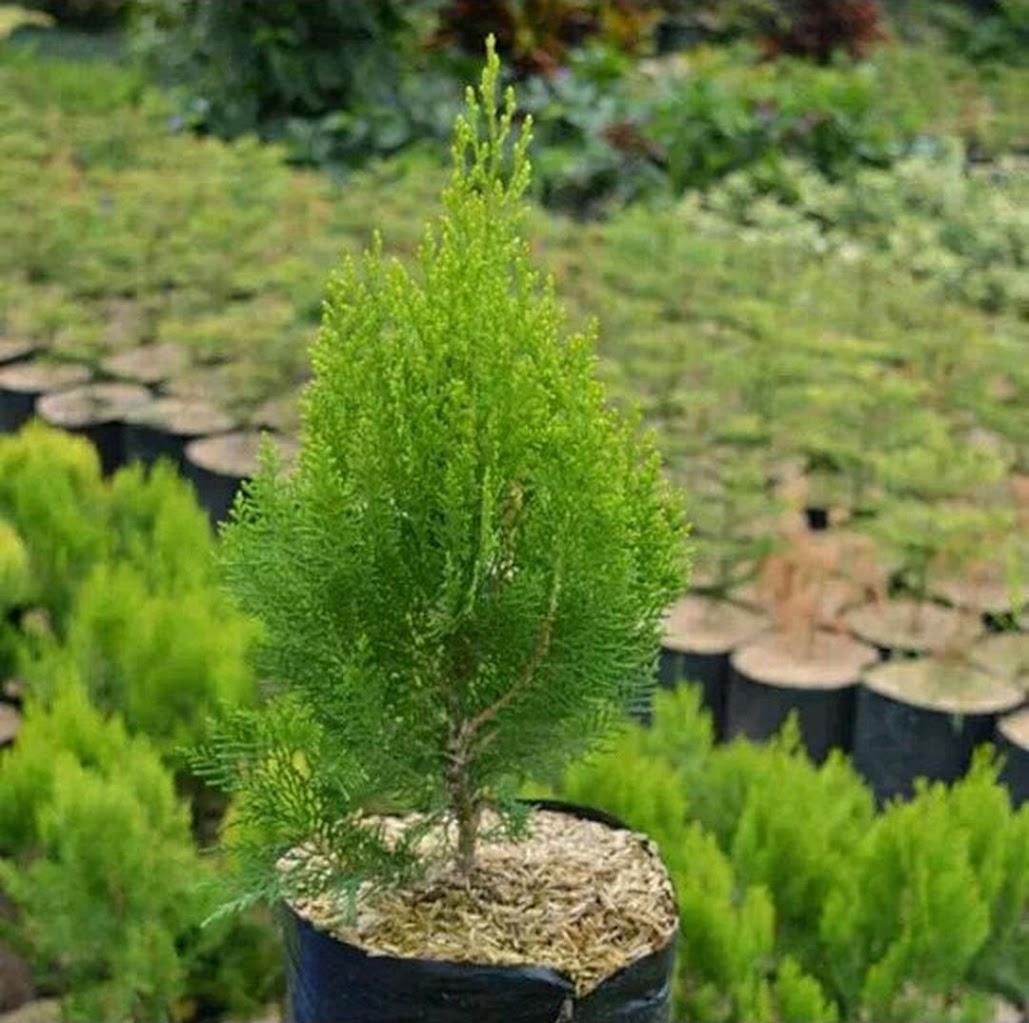 Jual pohon cemara kipas cemara pohon cemara natal Bogor