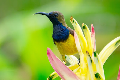 Mengatasi burung kolibri nyilet