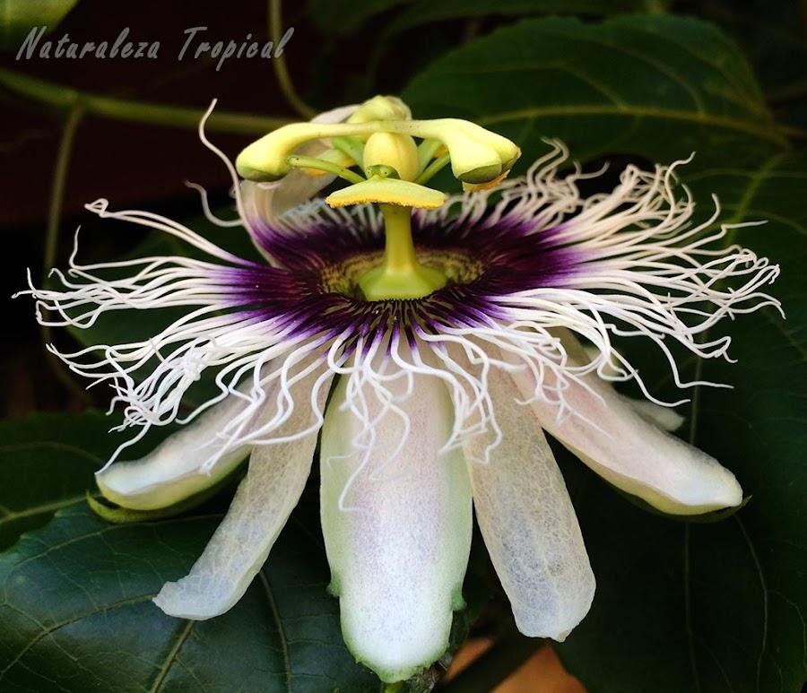 Vista lateral de la flor de la Pasionaria o Maracuyá, Passiflora edulis