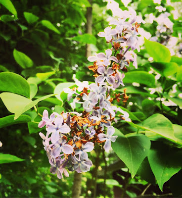 violetit syreeninkukat kuihtuneet