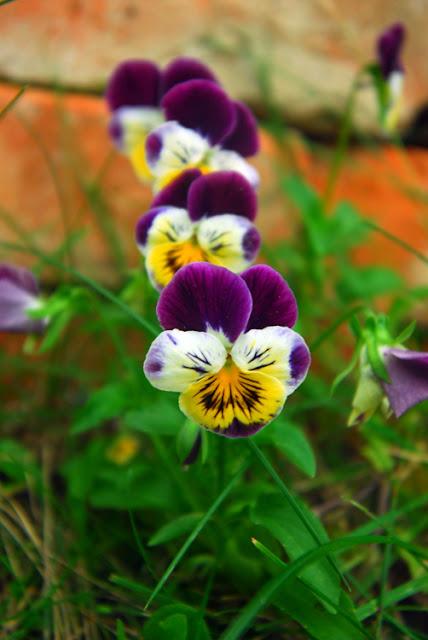 Pansy bratki jadalne kwiaty