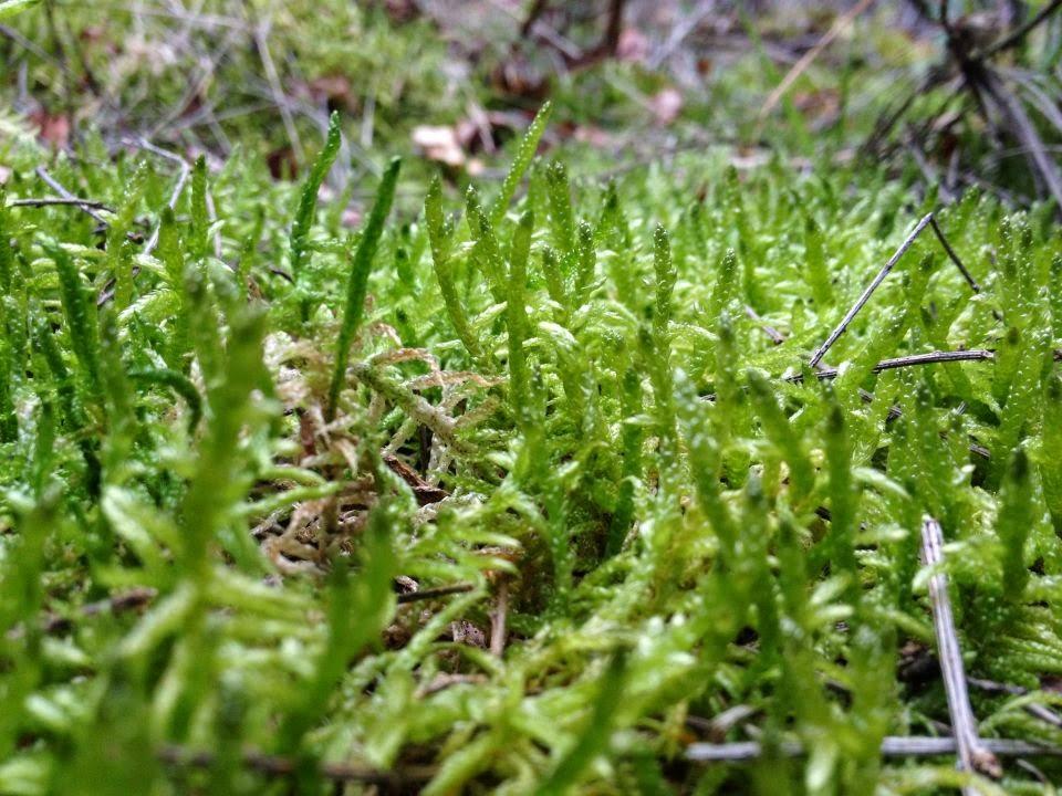 Imágen de musgo cedida por Biovía para este artículo