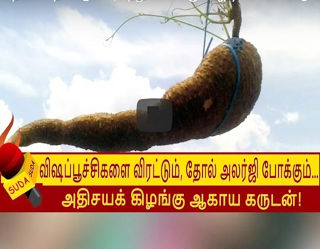 Medicinal tuber that helps to avoid insects and prevent skin allergies