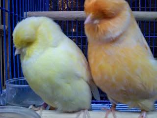 Burung Kenari Norwich- Mengenal Lebih Dekat Burung Kenari Norwich - Jenis Kenari Norwich, Gambar, Harga, dan Keunggulan