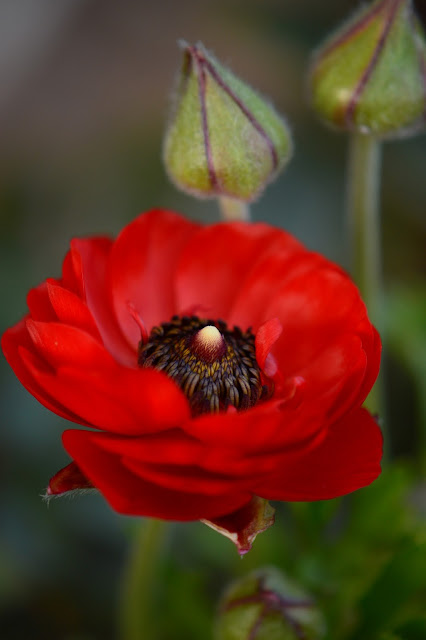 ranunculus, flower, spring, red, photography, amy myers, journal of a thousand things