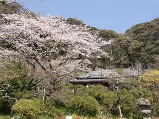 旧川喜多邸の桜