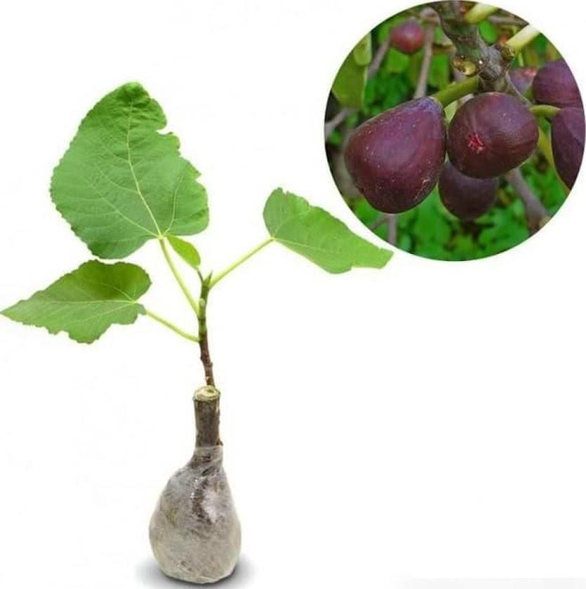 stok ready Bibit Tanaman Buah Tin Ungu buah ara ungu terlaris Sulawesi Utara