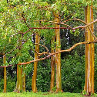 Pohon  Rainbow Eucalyptus