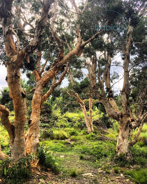 magnifiques arbres endémiques dans les Gorges de Rivière Noire