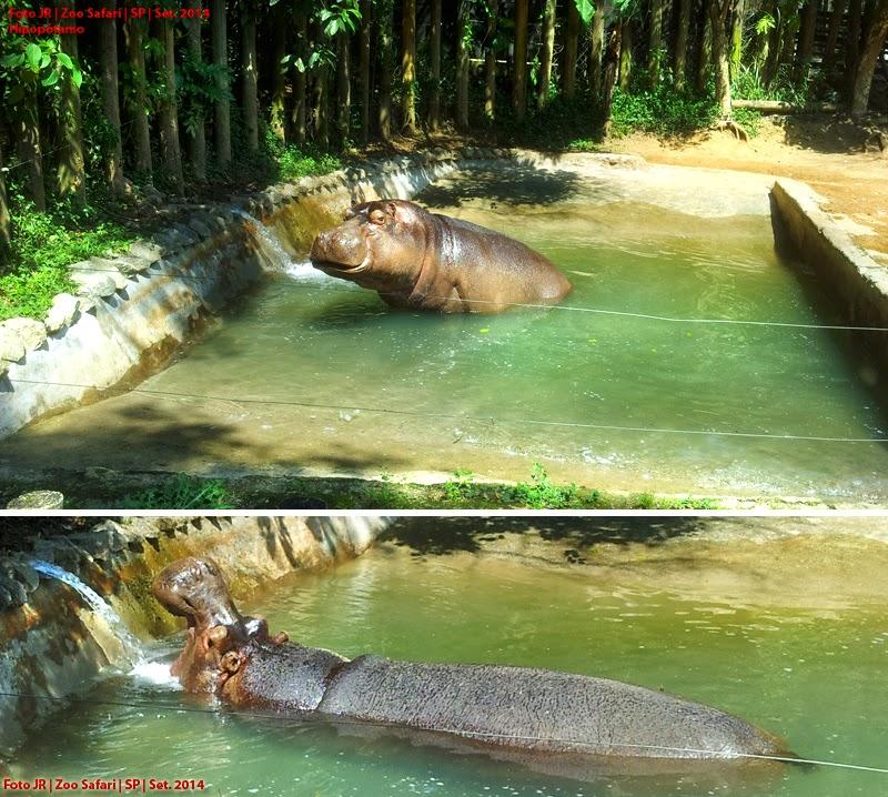 Hipopótamo no Zoo Safari SP
