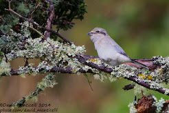 Northern shrike, October 2014