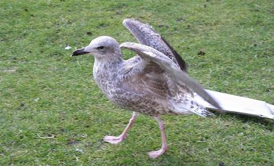 Stevens Seagull
